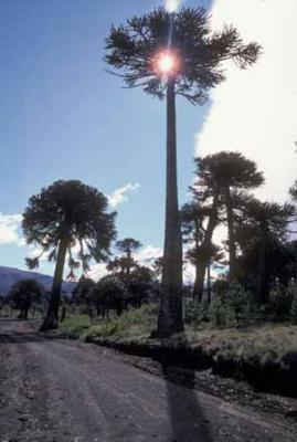20091023092609-araucaria2.jpg
